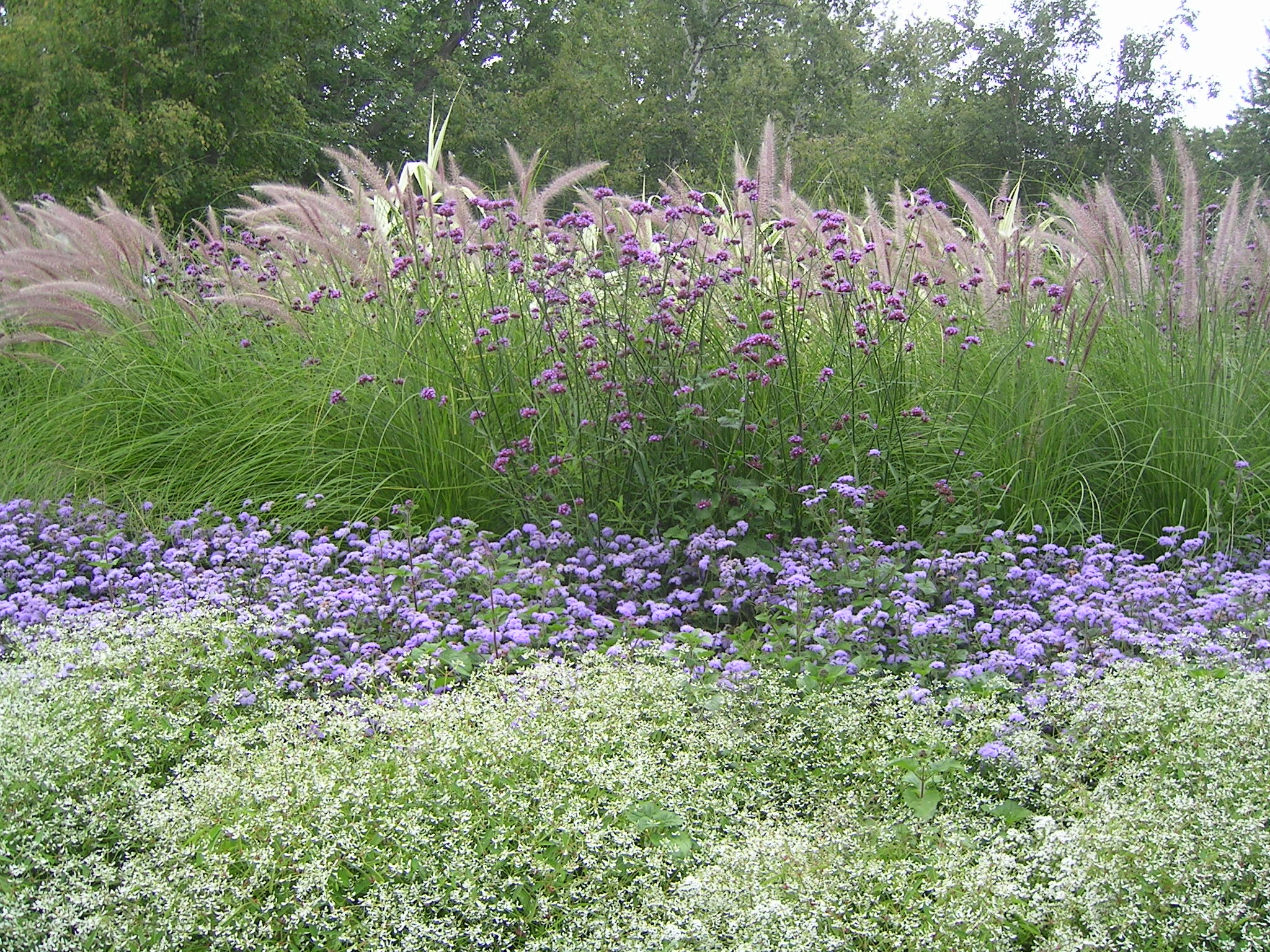 Annuals can be amazing hortus 2 there is life after retail for Blue fountain grass