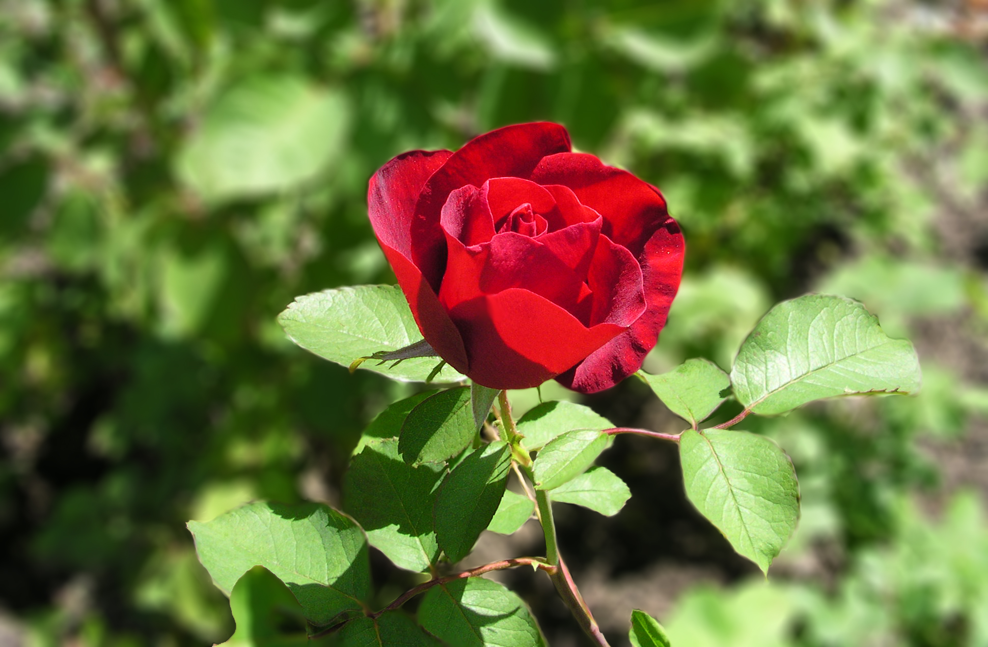 Common rose problems pictures